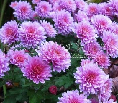 Хризантемы зимой. Выкапывать или укрывать?