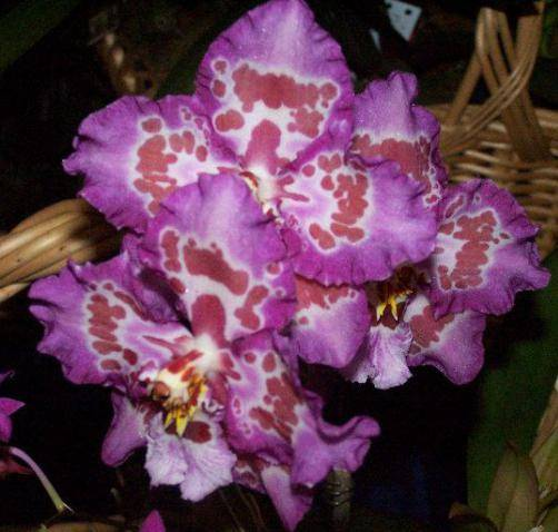 Комнатная орхидея