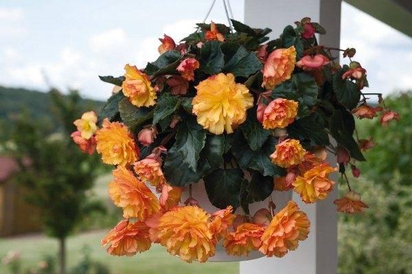 Домашний цветок бегония