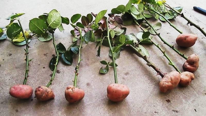 Как правильно черенковать розы в домашних условиях