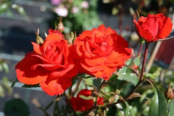 Highgrove роза