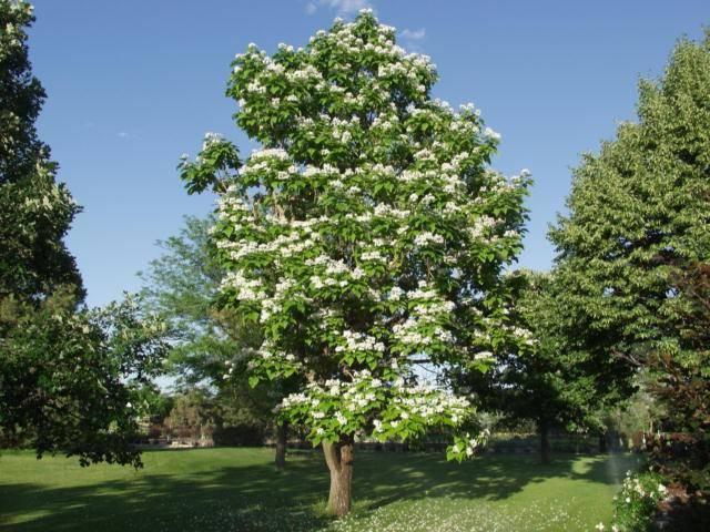 Деревья с большими листьями