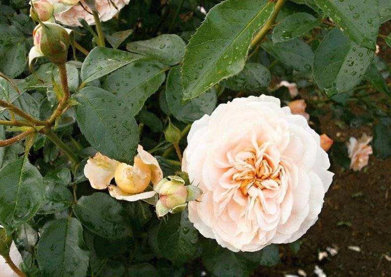 Белый налет на розах