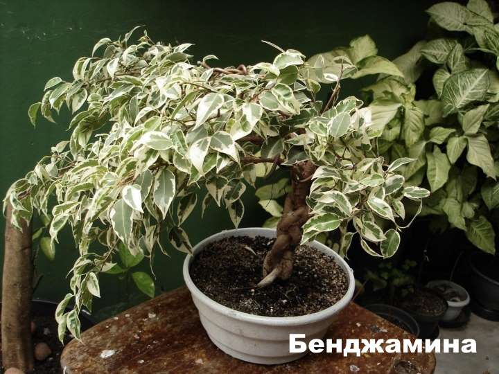 Вид растения - фикус Бенджамина