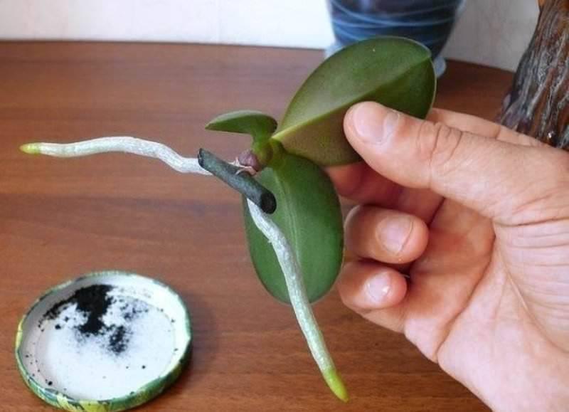 Как пересадить деток орхидеи в домашних условиях