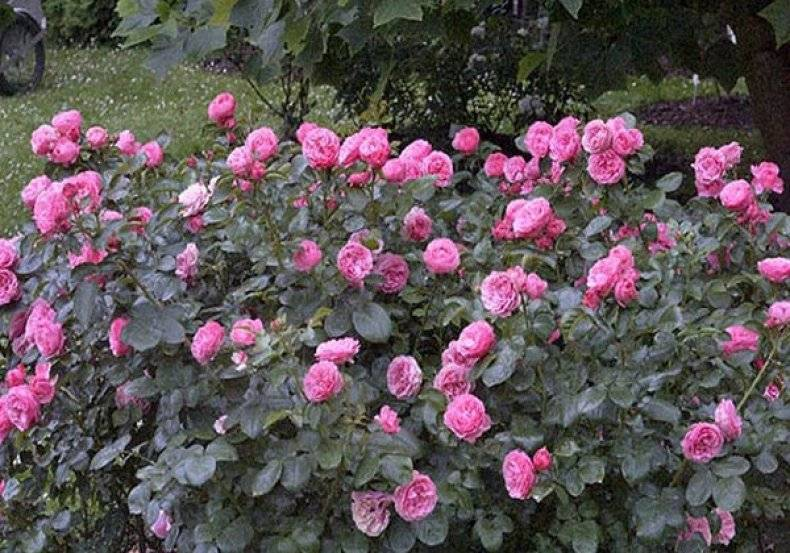 Уход за кустовыми розами
