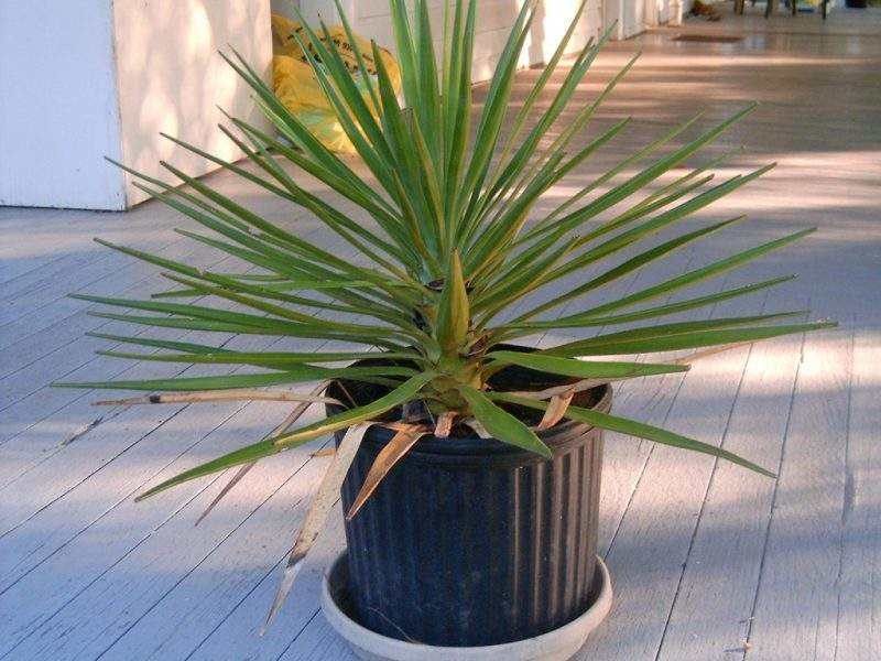 Пальма юкка уход в домашних условиях