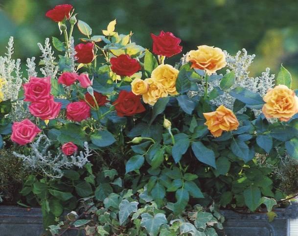 Когда лучше пересаживать розы осенью или весной