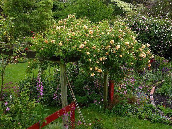 Роза древовидная