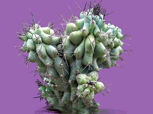 Как часто цветут кактусы в домашних условиях