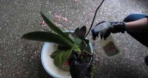 Вредители на орхидеях