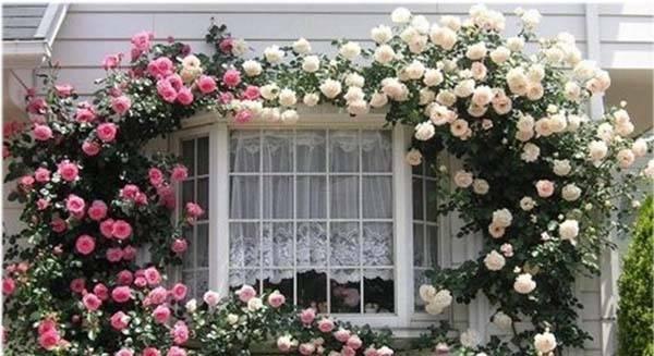 Плетистая роза в ландшафтном дизайне