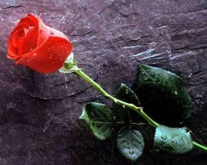 Чтоб розы долго стояли что нужно сделать