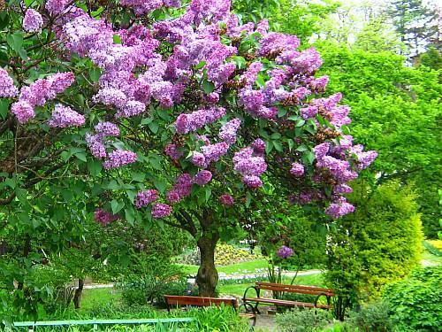 Сирень дерево фото