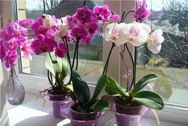 Как укоренить орхидею