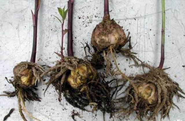 Как хранить луковицы лилий до посадки
