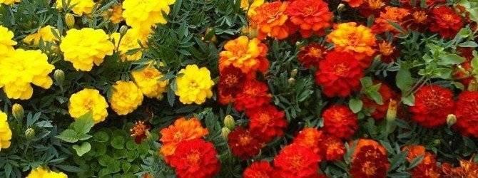 Бархотки цветы