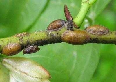 Как избавиться от щитовки на орхидеях