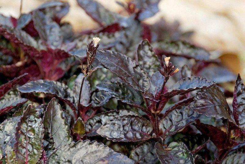 Растение с фиолетовыми листьями
