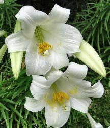 Королевские лилии