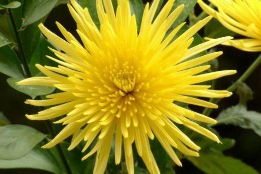 Хризантема садовая, или Хризантема китайская