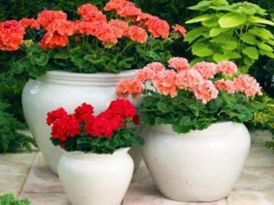 Полив комнатных растений перекисью водорода
