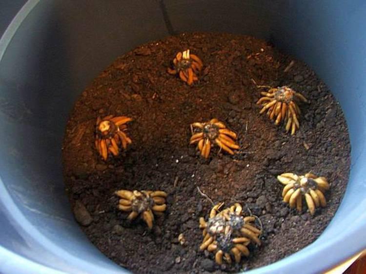 Ранункулюс выращивание