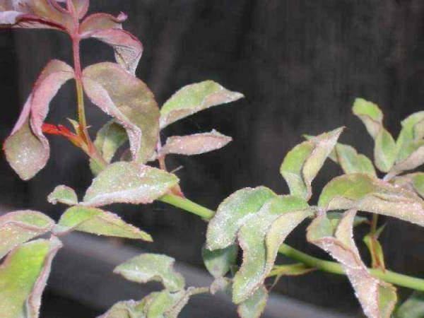 Розы плетистые в сибири
