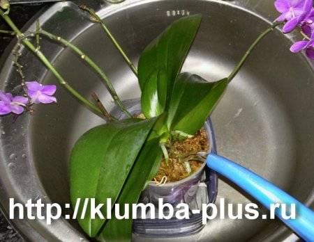 Как поливать фаленопсис