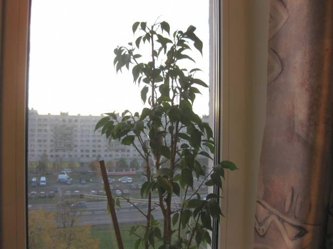 Размножение фикуса бенджамина в домашних условиях