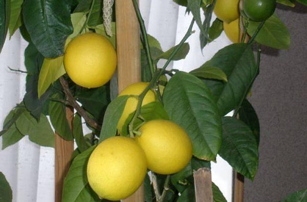 Лимон цитрус