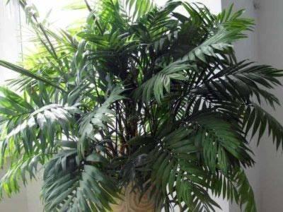 Хамедорея пальма уход