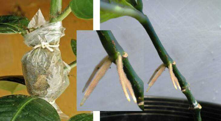 Выращивание фикуса