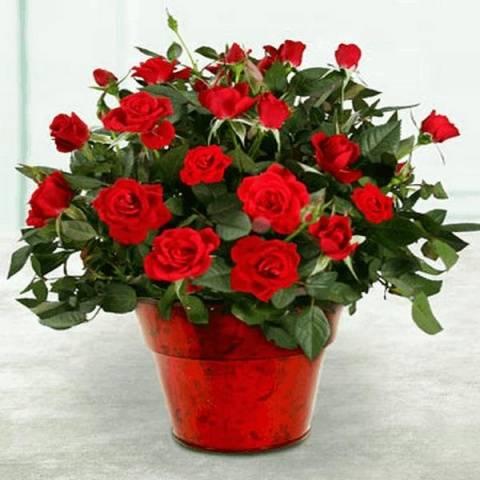 Розы местные