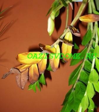 Замиокулькас желтеют листья что делать