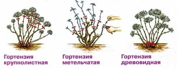 Можно ли вырастить гортензию из семян
