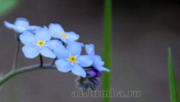 Как выглядит цветок незабудка