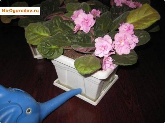 Как часто поливать фиалки в домашних условиях
