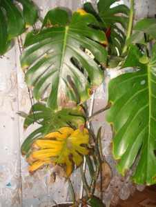 Монстера желтеют листья