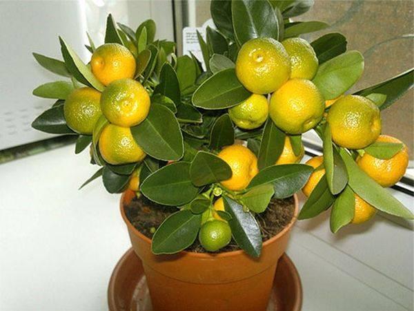 Как посадить мандарин
