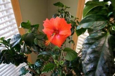 Когда в условиях квартиры происходит цветение?