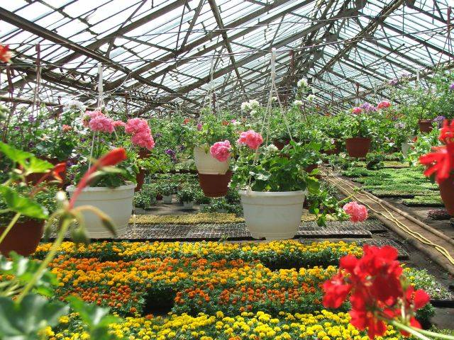 Подмосковные тюльпаны