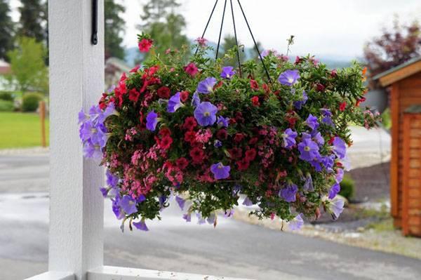 ампельные цветы в кашпо