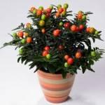 Ангинник растение