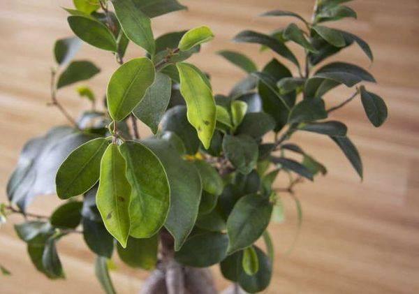 Листья фикуса покрываются коричневыми пятнами