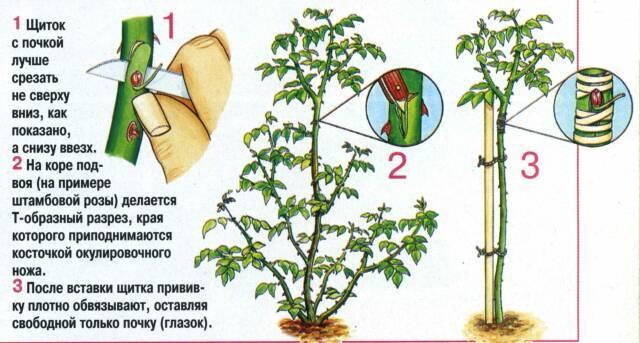 Как размножить розу черенками