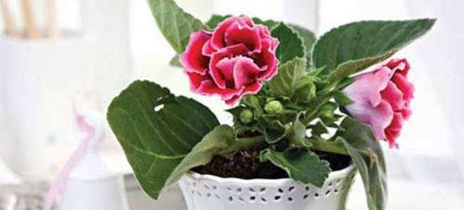 Глоксиния из семян в домашних условиях