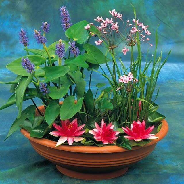 Цветы растущие на воде