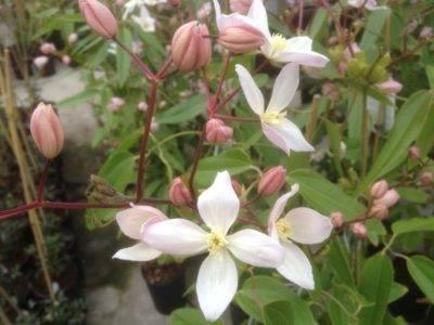 Выращивание клематисов в вашем саду