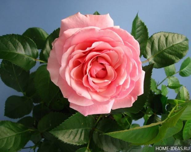 Розы на подоконнике